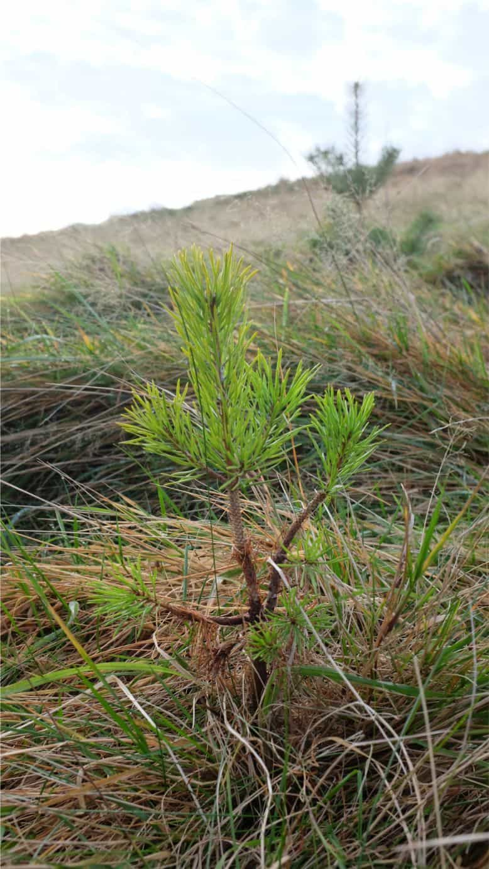 Irish sapling