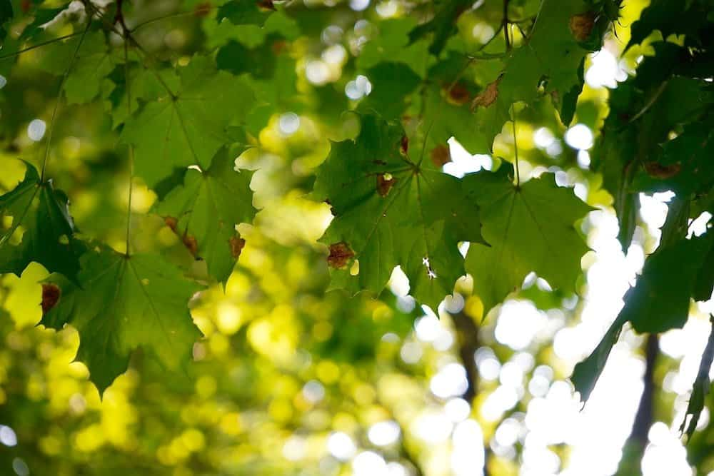 Leaves on a tree in sunshine